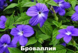 Растение броваллия