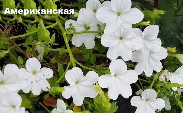 Растение вида - броваллия Американская