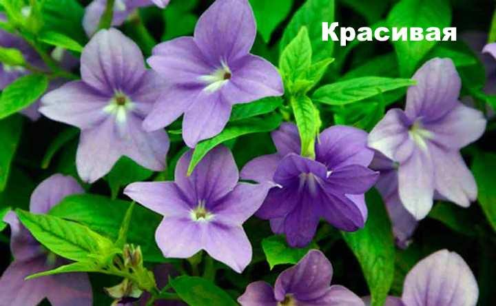 Растение вида - броваллия Красивая