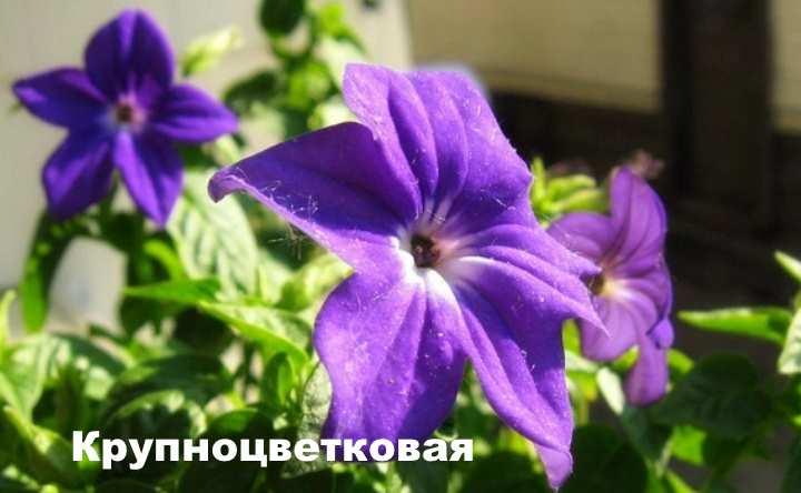 Растение вида - броваллия Крупноцветковая