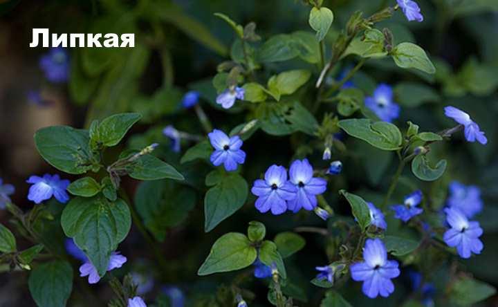 Растение вида - броваллия Липкая