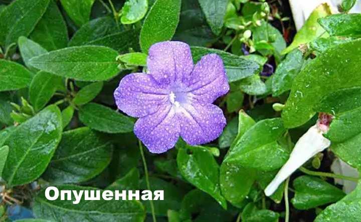 Растение вида - броваллия Опушенная