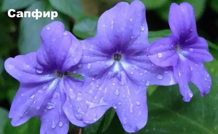 Растение вида - броваллия Сапфир