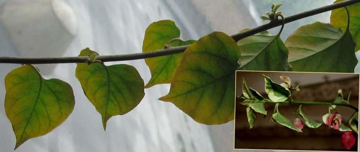 Пожелтение листьев бугенвиллии