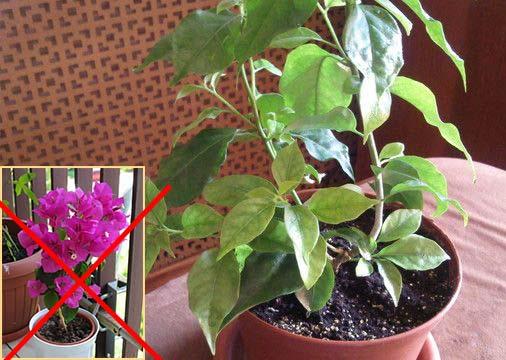 Нет цветов на бугенвиллии