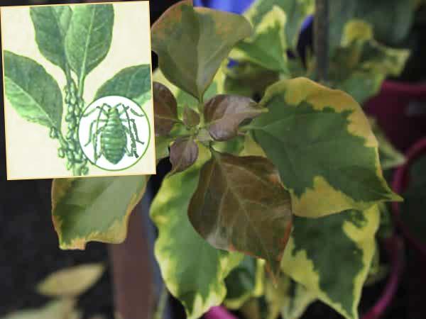 Тля или клеши повредили лист бугенвиллии