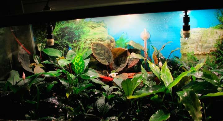 Растение буцефаландра для палюдариума