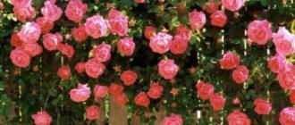Чайная роза цвета нежнорозового