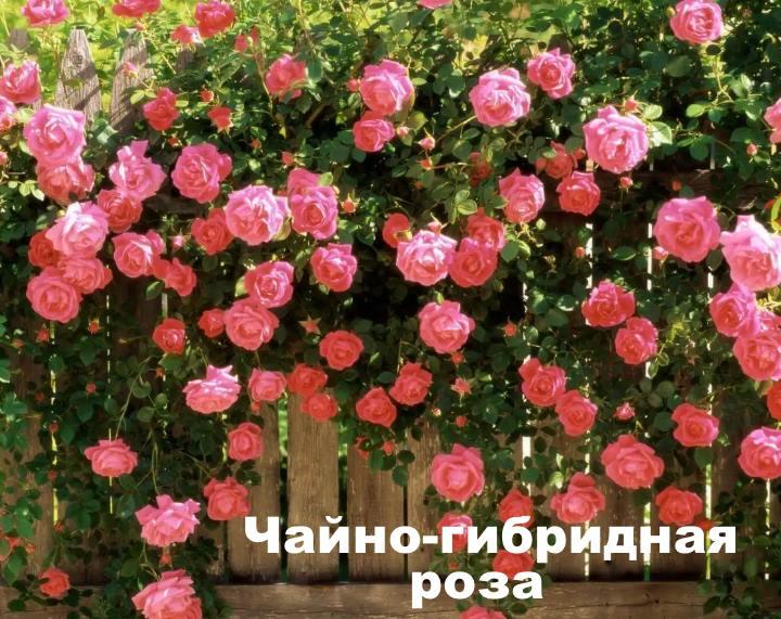 Чайно-гибридные розы сорта и виды