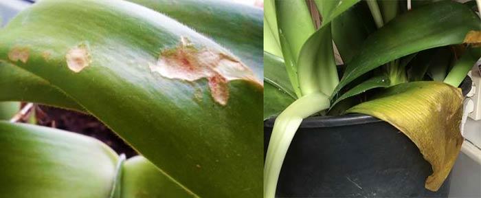 Поврежденные и пожелтевшие листья гемантуса