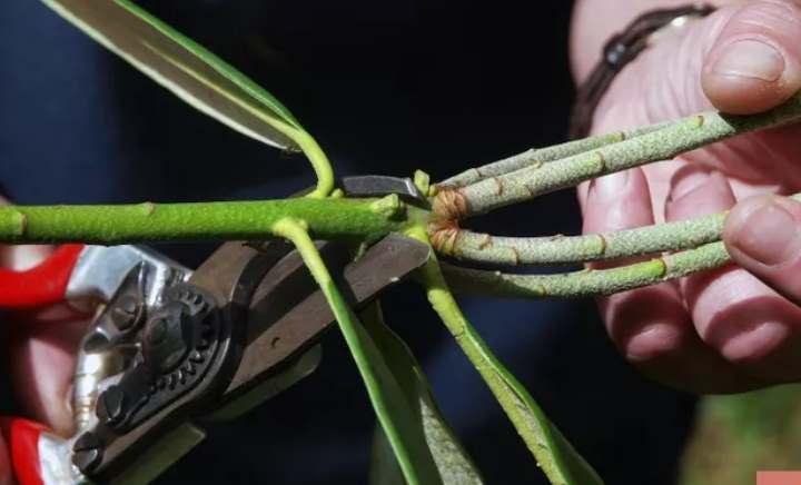 Подготовка черенка рододендрона