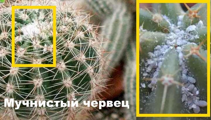 Проблема кактуса - нашествие мучнистого червеца