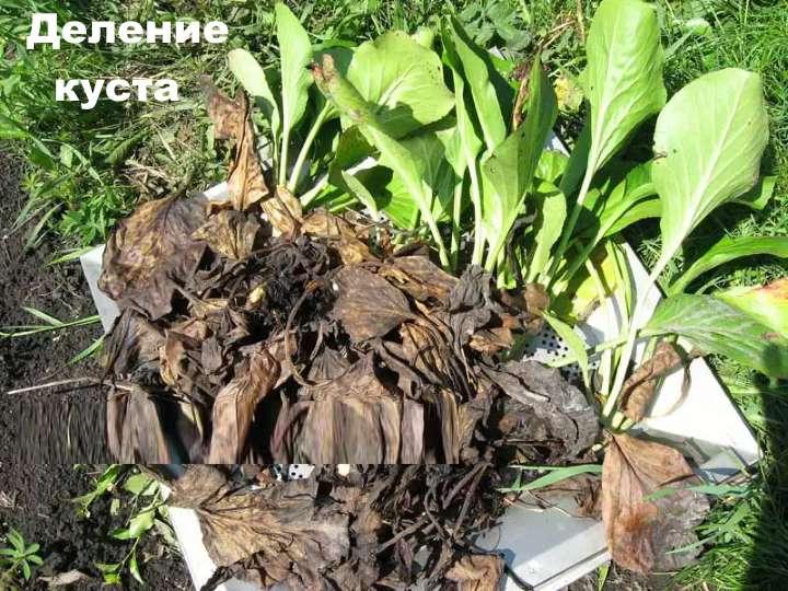 Размножение бадана