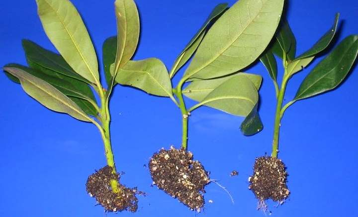 Кусты перед посадкой рододендронов