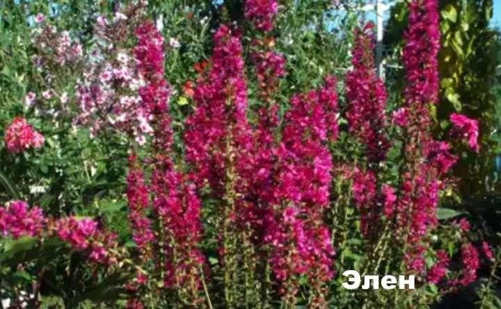Вид растения - дербенник Элен
