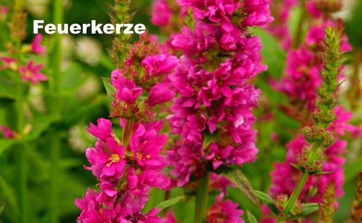 Вид растения - дербенник Feuerkerze