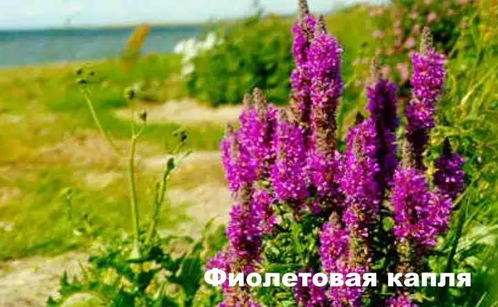 Вид растения - дербенник Фиолетовая капля
