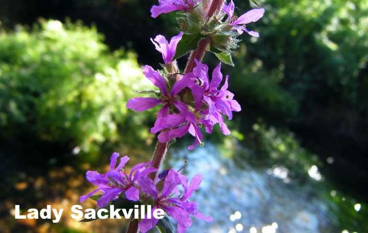 Вид растения - дербенник Lady Sackville