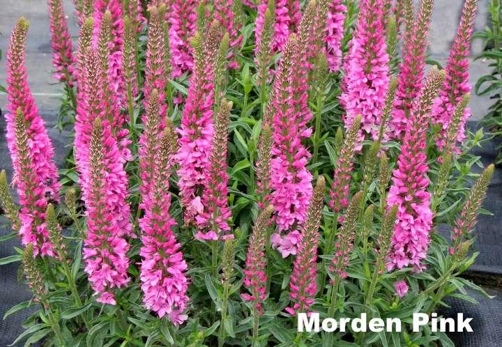 Вид растения - дербенник Morden Pink