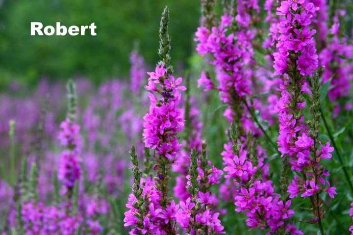Вид растения - дербенник Robert