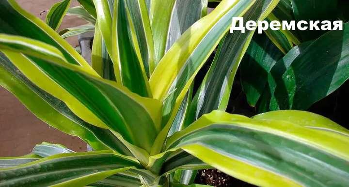 Вид растения - драцена Деремская
