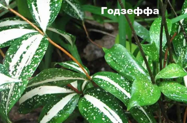 Вид растения - драцена Годзеффа