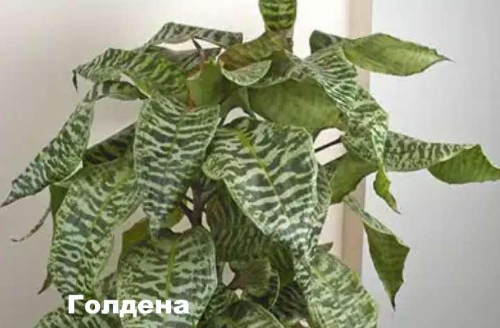 Вид растения - драцена Голдена