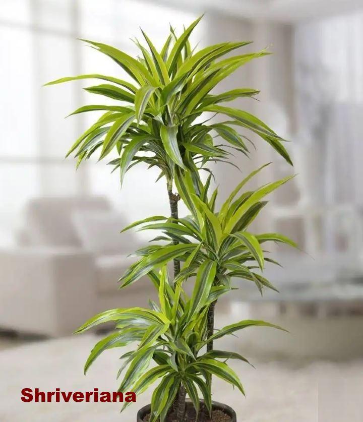 Вид растения - драцена Shriveriana