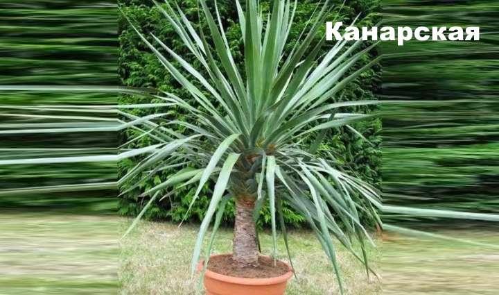 Вид растения - драцена канарская