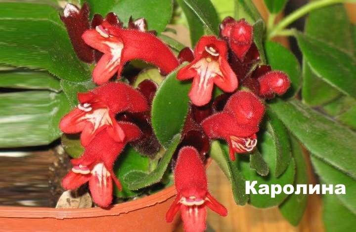 Вид растения - эсхинантус Каролина