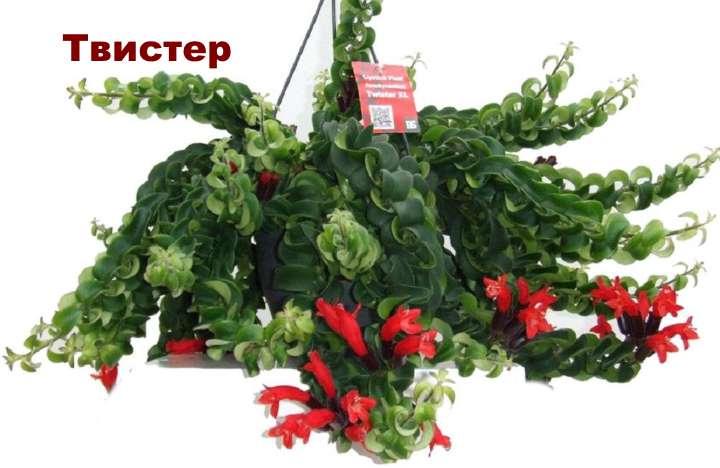 Вид растения - эсхинантус Твистер
