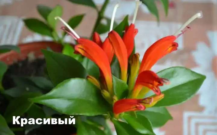 Вид растения - эсхинантус красивый