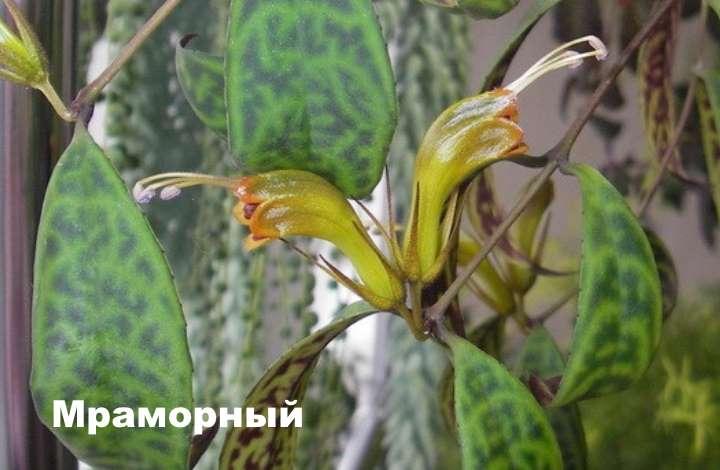 Вид растения - эсхинантус мраморный