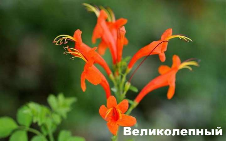 Вид растения - эсхинантус великолепный