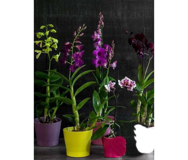 Вид орхидеи - фаленопсис