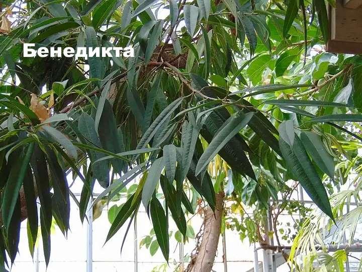 Вид растения - фикус Бенедикта