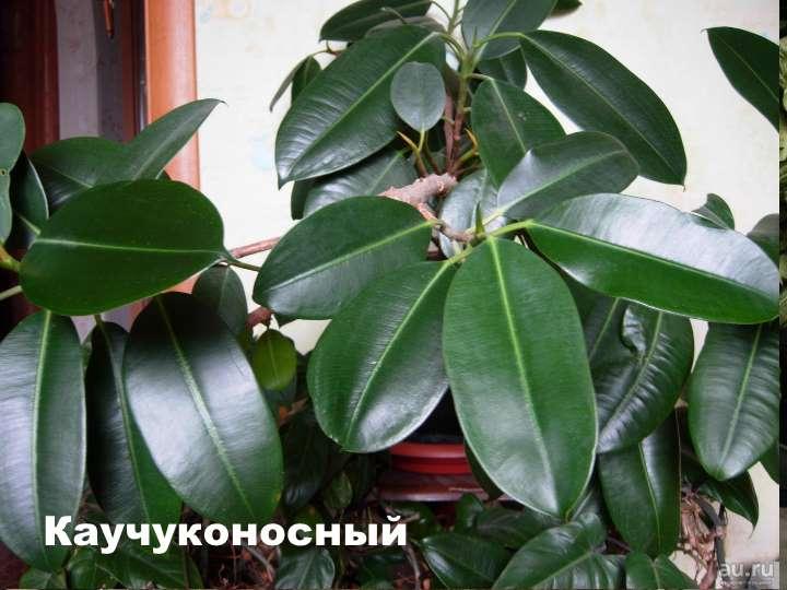 Вид растения - фикус Каучуконосный