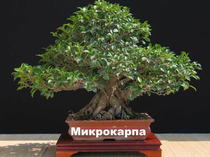 Вид растения - фикус Микрокарпа