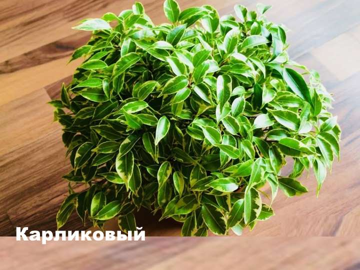 Вид растения - фикус карликовый