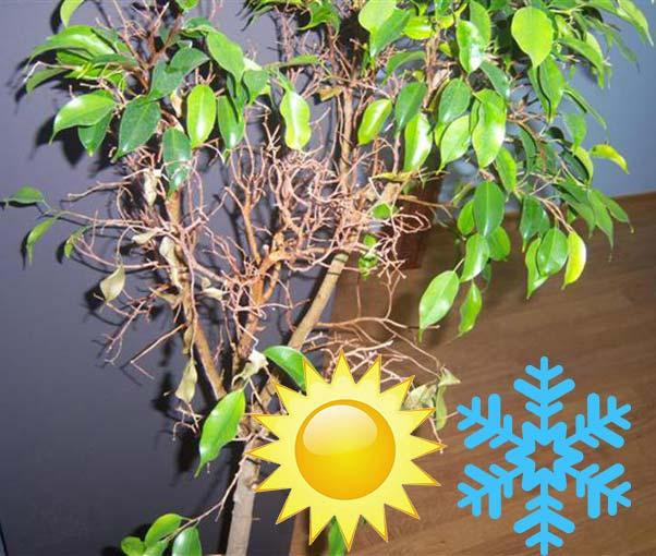 Жара холод и фикус желтеет и сбрасывает листья