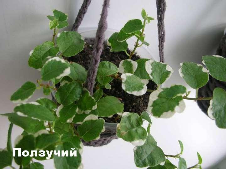 Вид растения - фикус ползучий