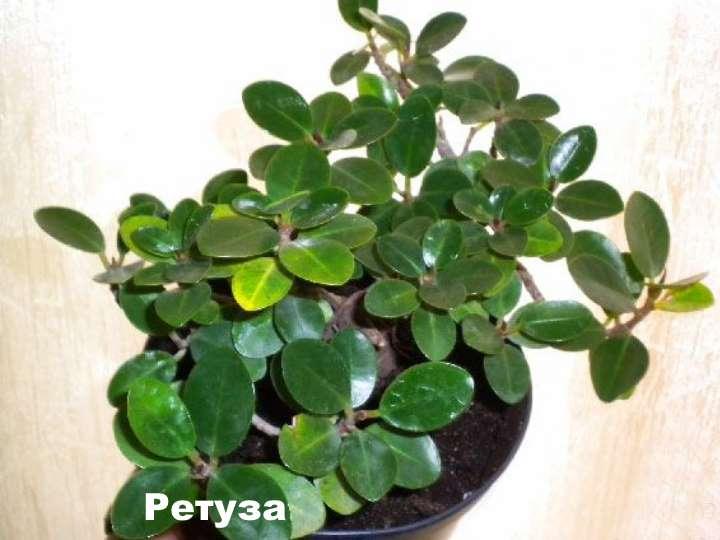 Вид растения - фикус ретуза