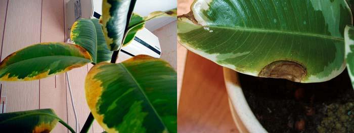 Пожелтения и пораженяи листьев фикуса Робуста