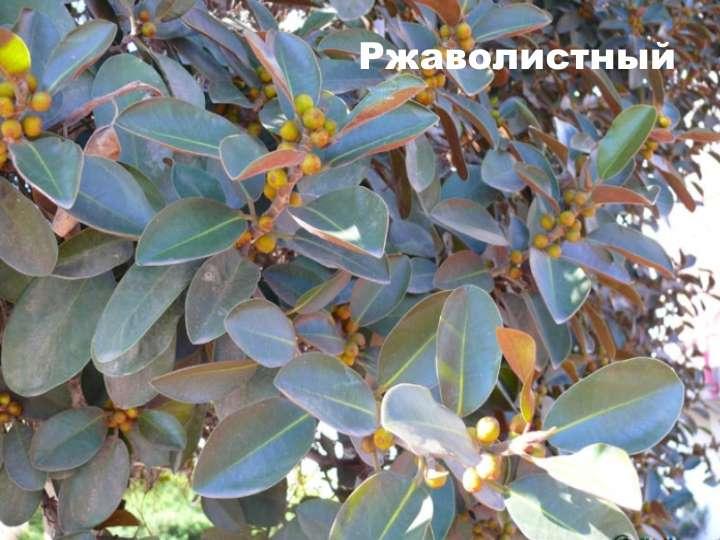 Вид растения - фикус ржаволистный