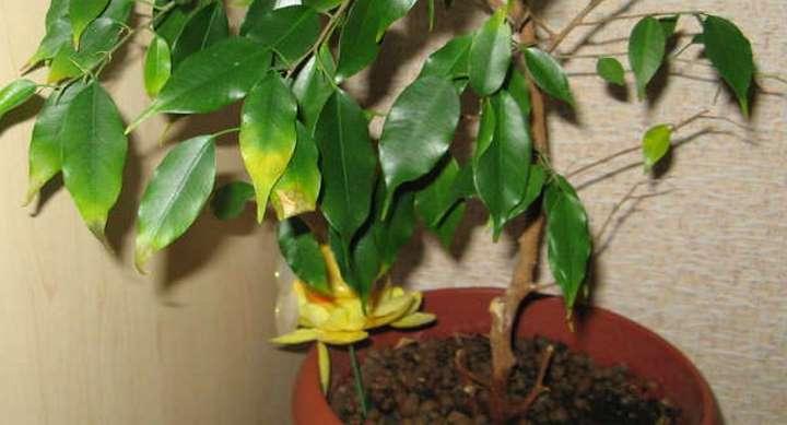 Желтый и сухой лист фикуса