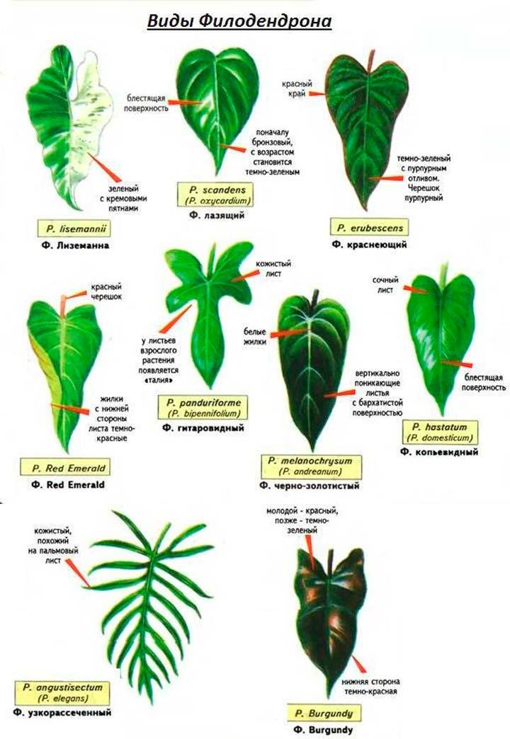 Разновидности филодендрона