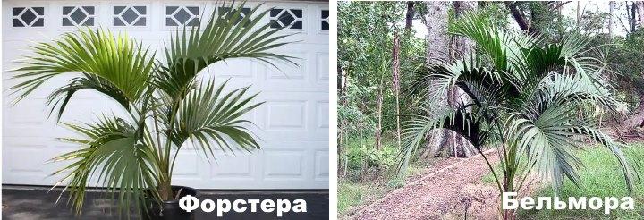 Сравнение двух пальм