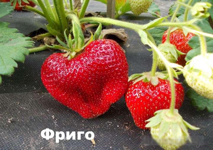 Плоды клубники фриго
