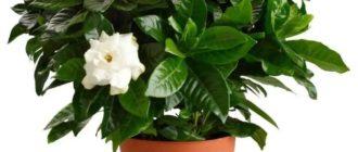 Растение гардения жасминовидная