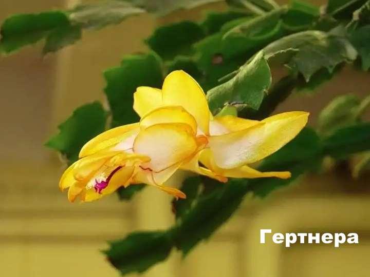 Вид растения - гертнера шлюмбергера